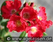 Giesebrecht (Miniature Rose)