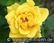 Gold Symphonie (Miniature Rose)
