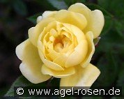 Guletta (Miniature Rose)