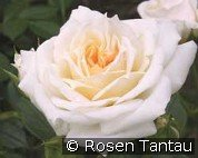 Honeymilk (Miniature Rose)