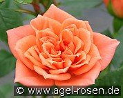 Ninetta (Miniature Rose)