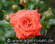 Orange Juwel (Miniature Rose)
