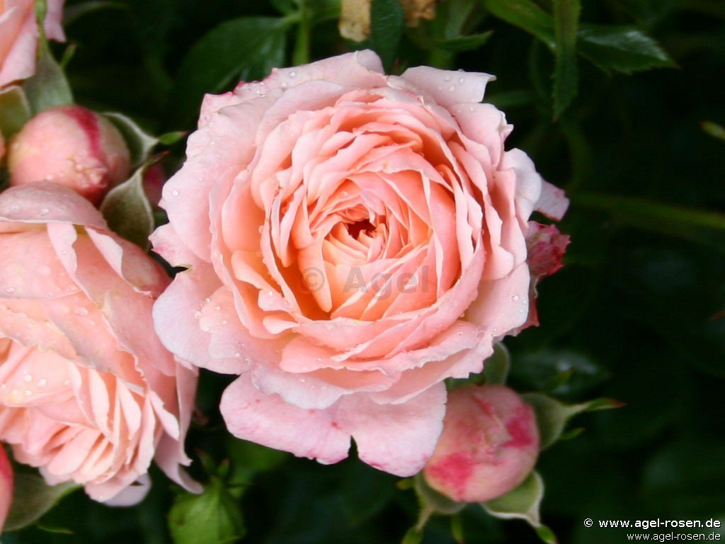 buy rose peach clementine online at agel rosen 3 liter pot container roses. Black Bedroom Furniture Sets. Home Design Ideas