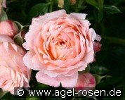 Peach Clementine (Miniature Rose)