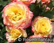Tropical Clementine (Miniature Rose)