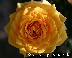 yellow clementine miniature rose buy at agel rosen. Black Bedroom Furniture Sets. Home Design Ideas