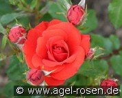 Zwergenfee 09 (Miniature Rose)