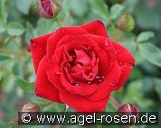 Zwergkönig 78 (Miniature Rose)