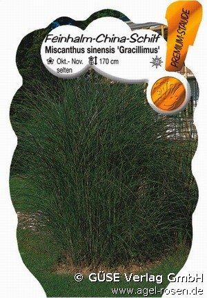 feinhalm chinaschilf bei agel rosen online kaufen miscanthus sinensis 39 gracillimus 39 de. Black Bedroom Furniture Sets. Home Design Ideas