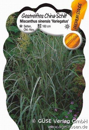 Miscanthus sinesis variegatus gestreiftes Chinaschilf