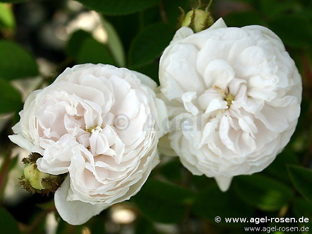 blanche moreau moss rose buy at agel rosen. Black Bedroom Furniture Sets. Home Design Ideas