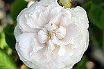 Blanche Moreau (Moss Rose)