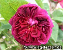 Deuil de Paul Fontaine (Moss Rose)