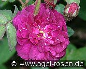 Nuits de Young (Moss Rose)
