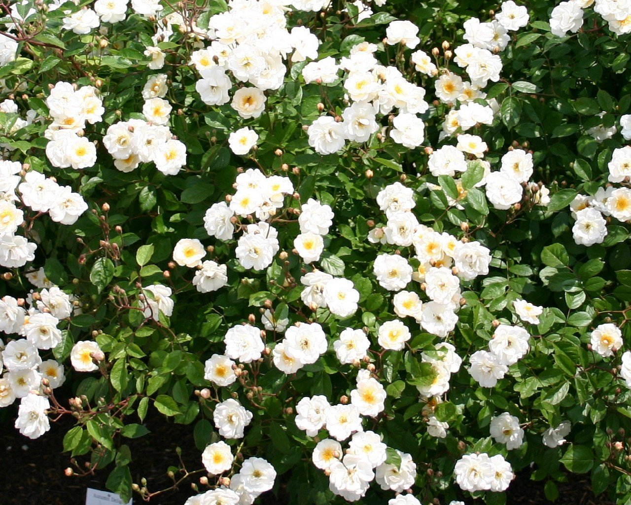 Autumn Delight (Musk Rose)