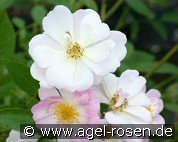 Queen of the Musk (Musk Rose)