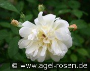 Thisbe (Musk Rose)
