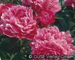 pfingstrose bei agel rosen online kaufen paeonia lactiflora hybride rosa stauden f r beete. Black Bedroom Furniture Sets. Home Design Ideas
