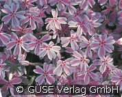Teppich-Phlox (Phlox subulata 'Candy Stripes')