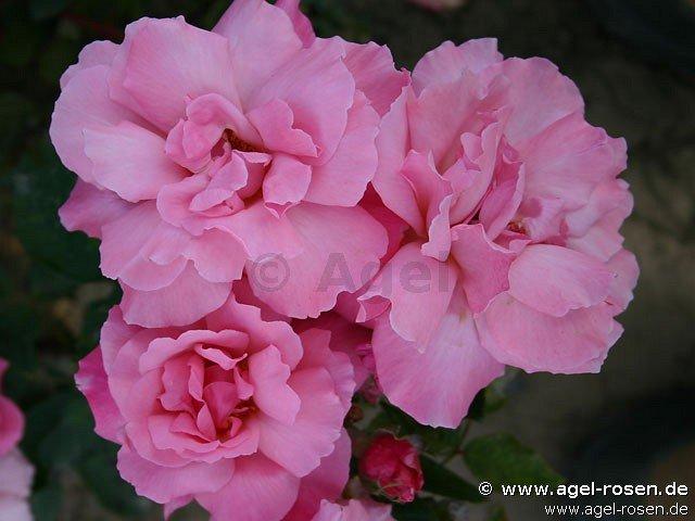 alexandre girault rambler kaufen bei agel rosen. Black Bedroom Furniture Sets. Home Design Ideas