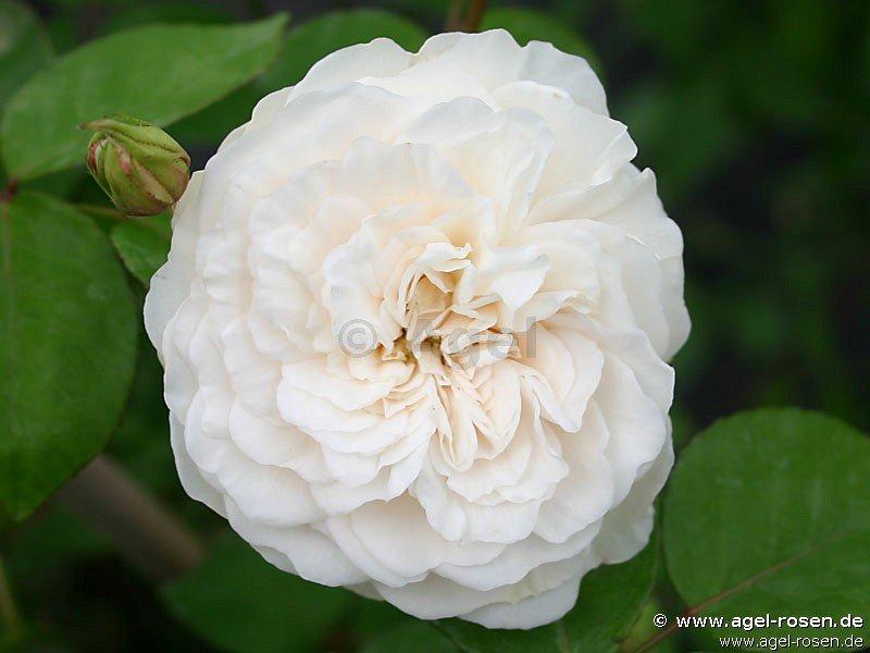 colonial white rambler kaufen bei agel rosen. Black Bedroom Furniture Sets. Home Design Ideas