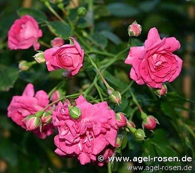 dorothy perkins rambler kaufen bei agel rosen. Black Bedroom Furniture Sets. Home Design Ideas
