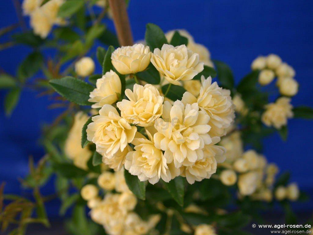 rosa banksiae lutea rambler kaufen bei agel rosen. Black Bedroom Furniture Sets. Home Design Ideas