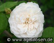 Colonial White (Rambler Rose)