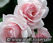 New Dawn (Rambler Rose)