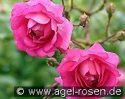 Super Dorothy (Rambler Rose)