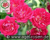 Super Excelsa (Rambler Rose)
