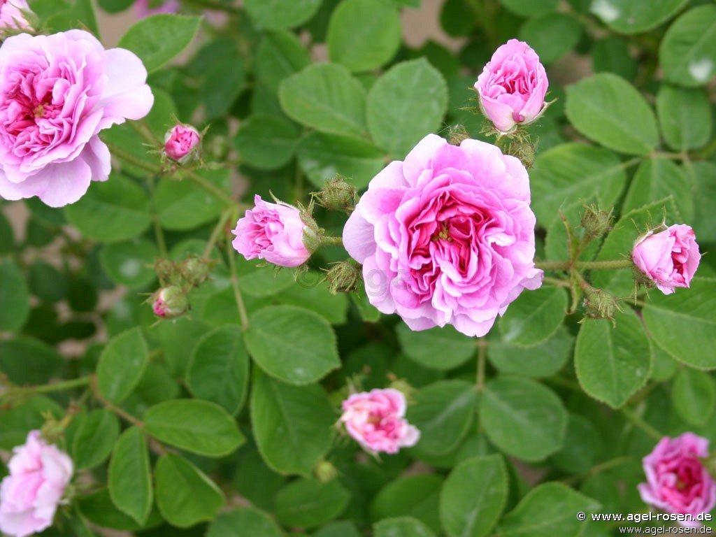 russeliana rambler kaufen bei agel rosen. Black Bedroom Furniture Sets. Home Design Ideas