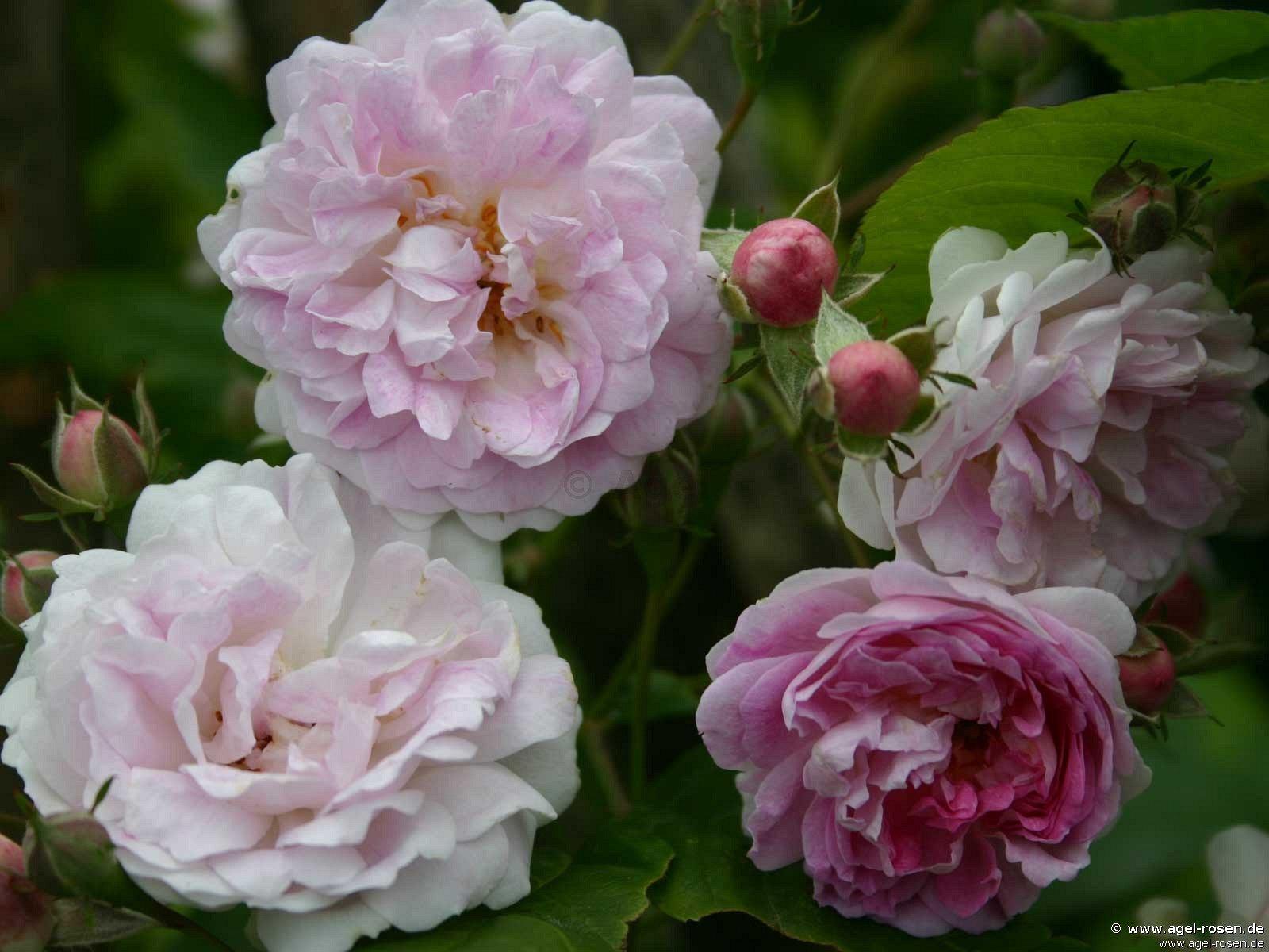 seven sister 39 s rose rambler kaufen bei agel rosen. Black Bedroom Furniture Sets. Home Design Ideas