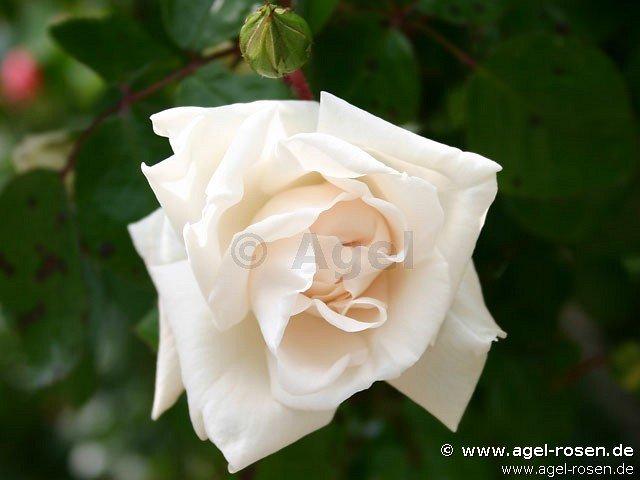 wei e new dawn rambler kaufen bei agel rosen. Black Bedroom Furniture Sets. Home Design Ideas