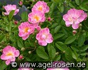 Apple Blossom (Ramblerrose)