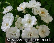 White Flight (Ramblerrose)