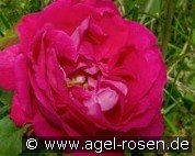 American Beauty (Remontant Rose)