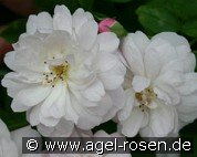 Blush Noisette (Remontant Rose)