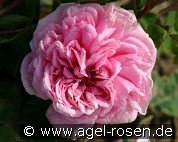Enfant de France (Remontant Rose)