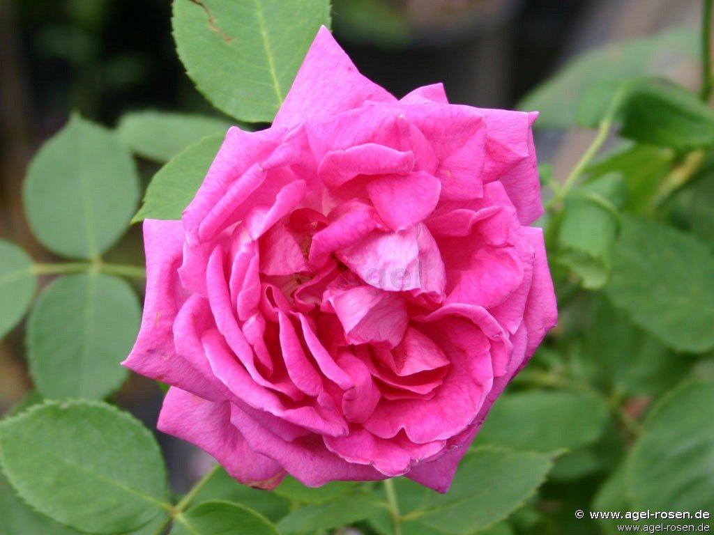 buy rose prince noir online at agel rosen tree roses. Black Bedroom Furniture Sets. Home Design Ideas