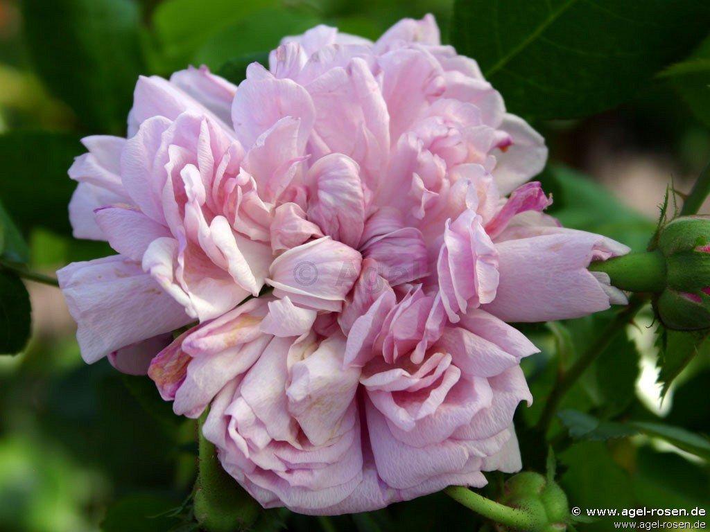 rose sidonie online kaufen agel rosen trauerstammrosen 125 140cm im 5l topf containerrosen. Black Bedroom Furniture Sets. Home Design Ideas