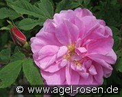 Therese Bugnet (Rosa rugosa)