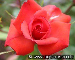 Altenburg (Shrub Rose)