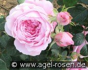 ArMor (Shrub Rose)
