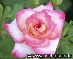 Arabella (Shrub Rose)