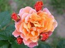 Arabia (Shrub Rose)
