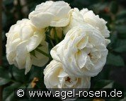 Artemis (Shrub Rose)