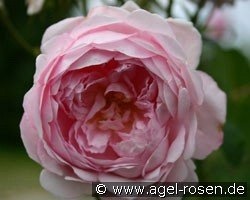 Auswife (Shrub Rose)