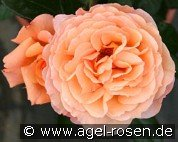 Belvedere (Shrub Rose)