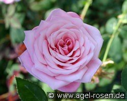 Blossomtime (Shrub Rose)